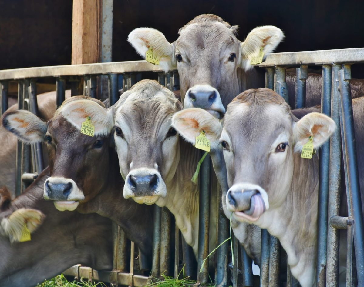 verrückte Kühe