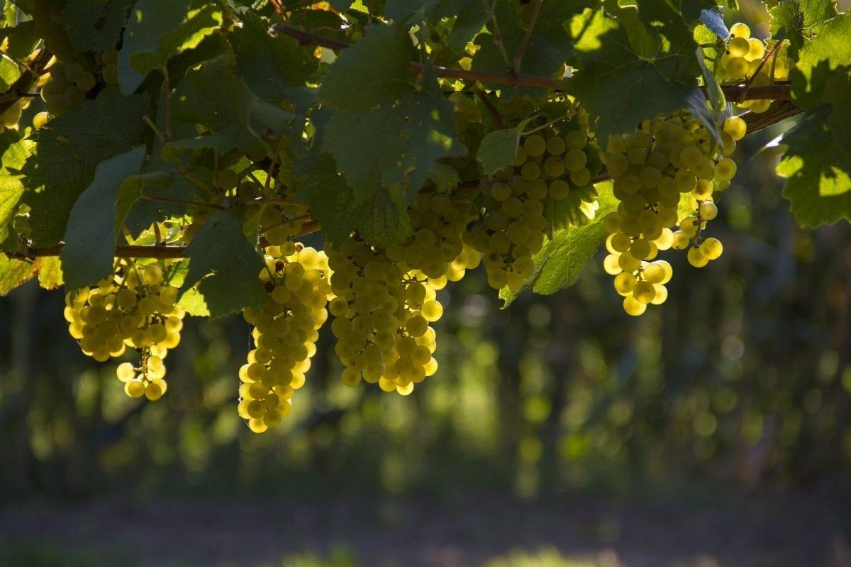 Bodegas Bilbainas natürlicher Wein und seine QualityWine-Pflanzendecke in Weinbergen