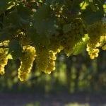 vino natural Bodegas Bilbaínas y su QualityWine cubierta vegetal en viñedos