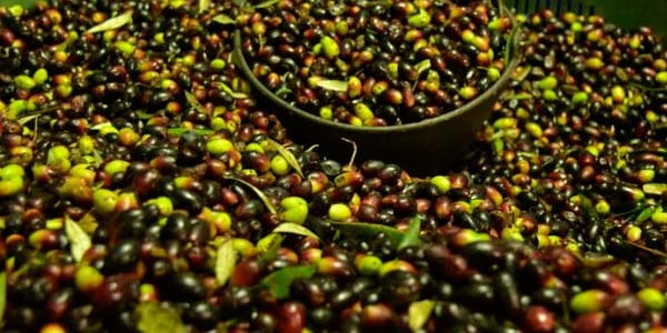 aceituna y el precio del aceite sigue en caída norma de calidad