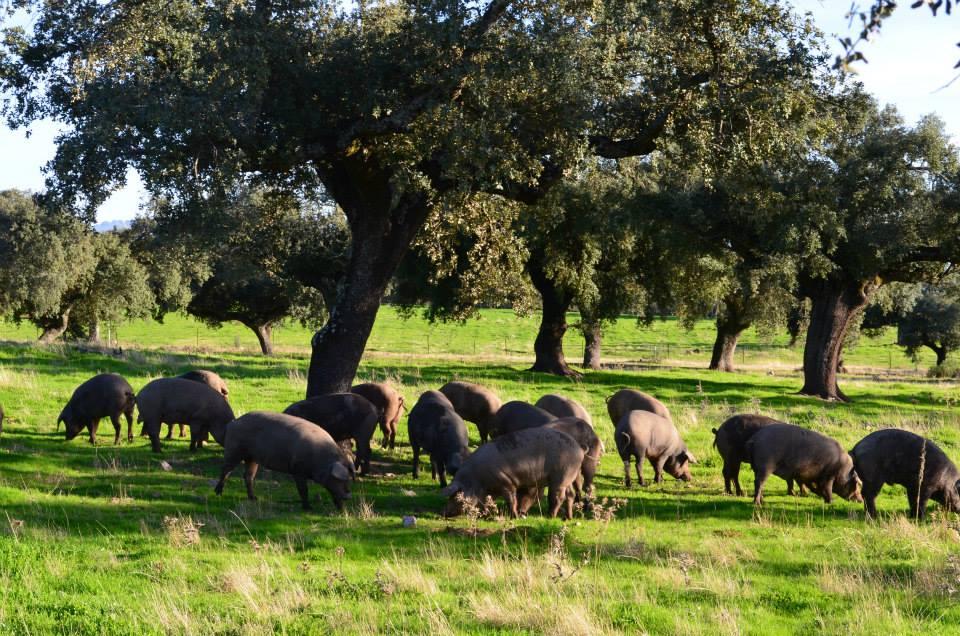 protección del cerdo ibérico