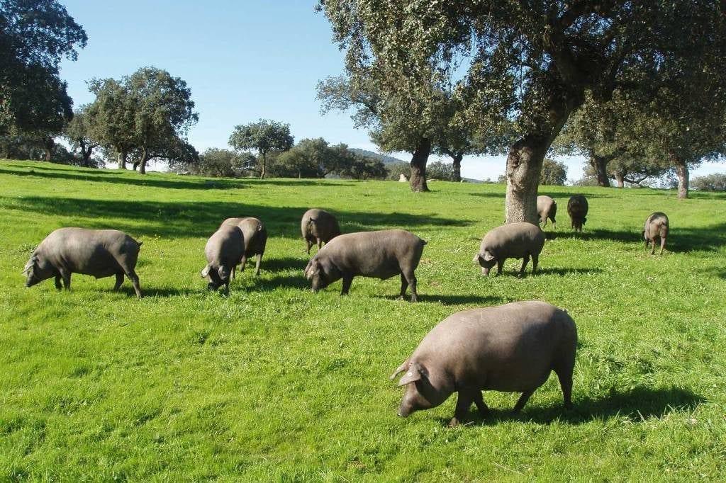 Cerdo Ibérico norma de calidad jamón ibérico de estados unidos