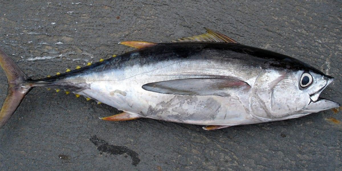 Atún Rojo mercurio en el pescado