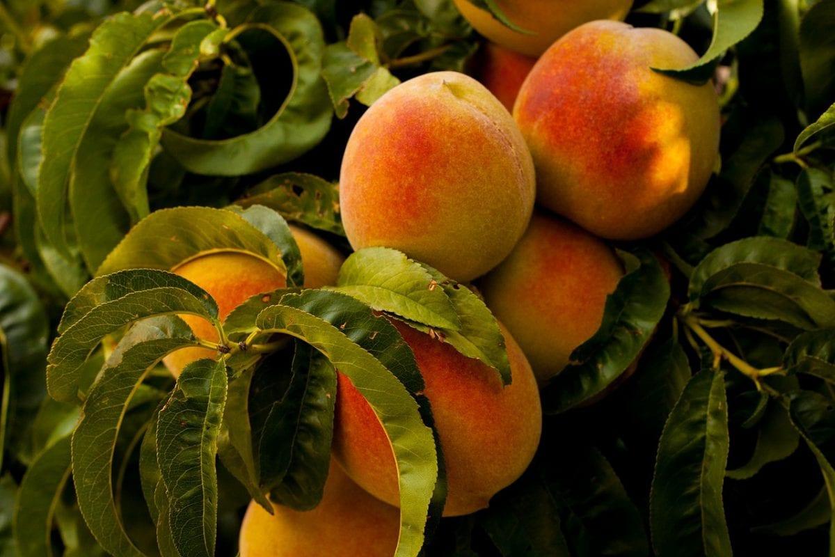 campaña fruta de hueso 2019 melocotones