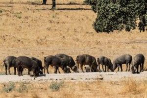 embutidos ecológicos Señorío de Montanera cerdos