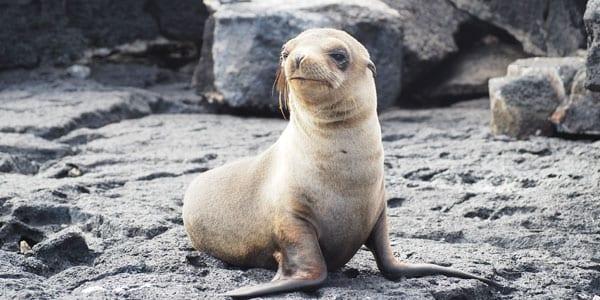 Filhote de leão-marinho de Galápagos