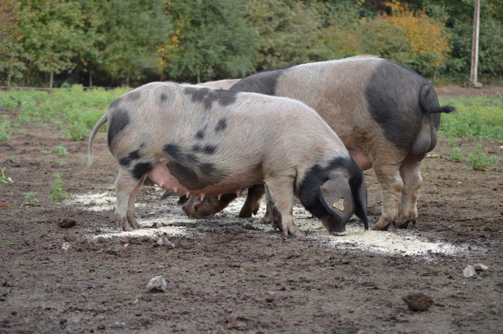 el porco celta de Galicia