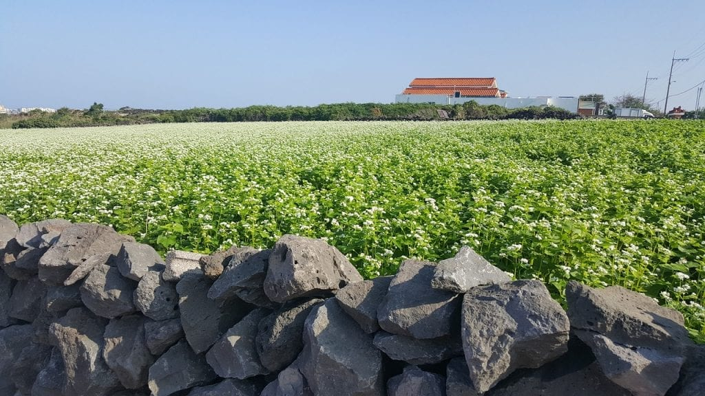 cultivo trigo sarraceno plantas