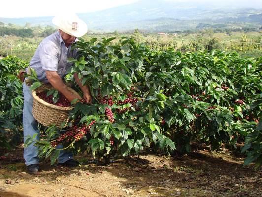recolector de café en Costa Rica