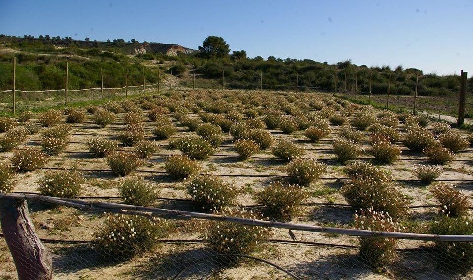 cultivo turma trufas