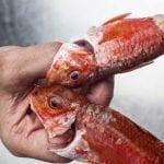Salmonete pescado