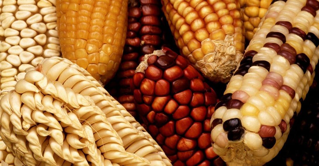 dónde están los alimentos transgénicos maíz