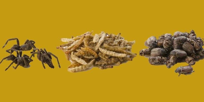 insectum insectos comestibles en españa