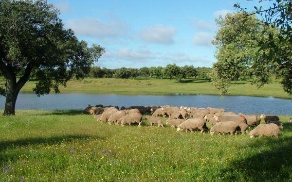 corderos españoles para Ramadán