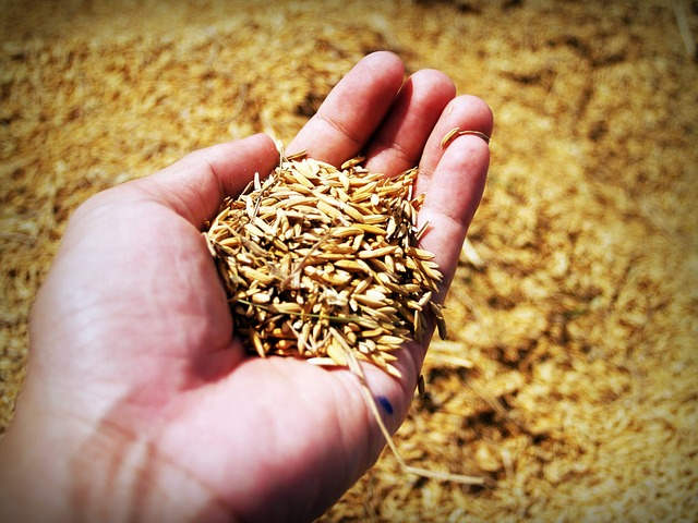 Granos de arroz variante de la planta del arroz