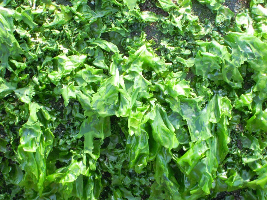 el cultivo de algas comestibles