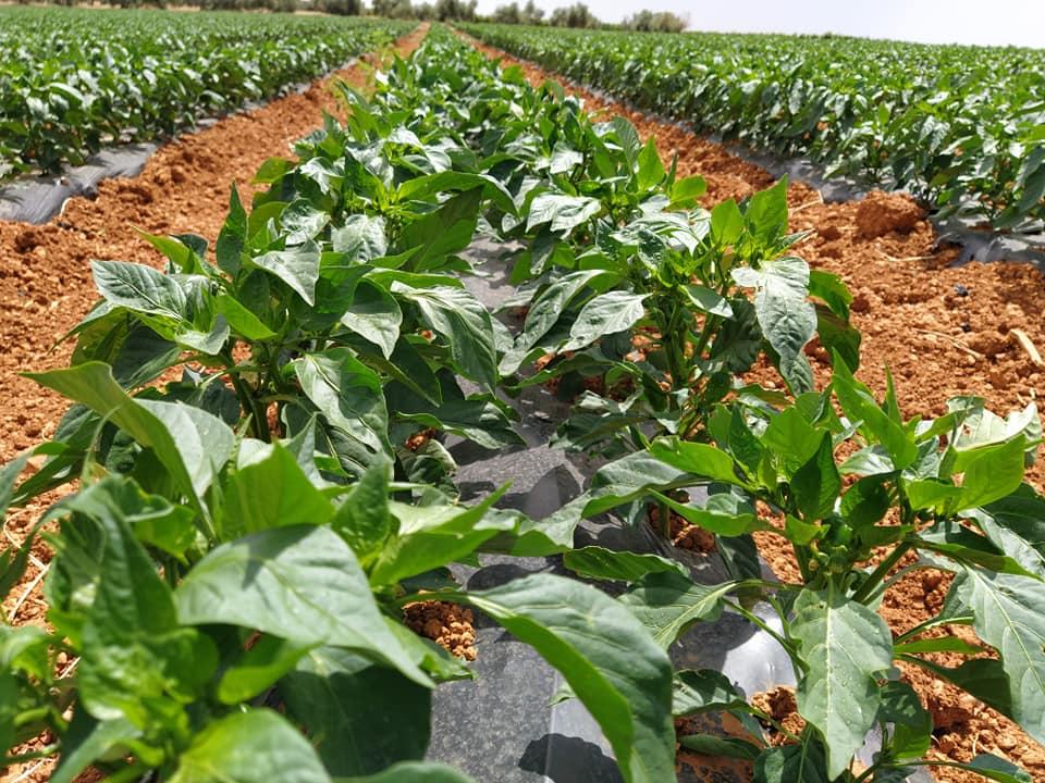 cultivos pimiento de Villanueva de los Infantes