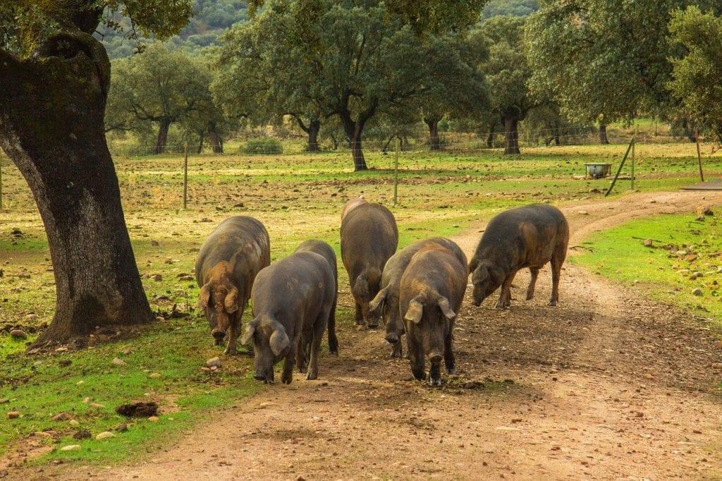 dehesa cerdos jamón de Jabugo récord