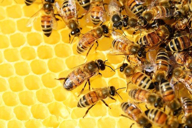 Abejas haciendo miel en el panal