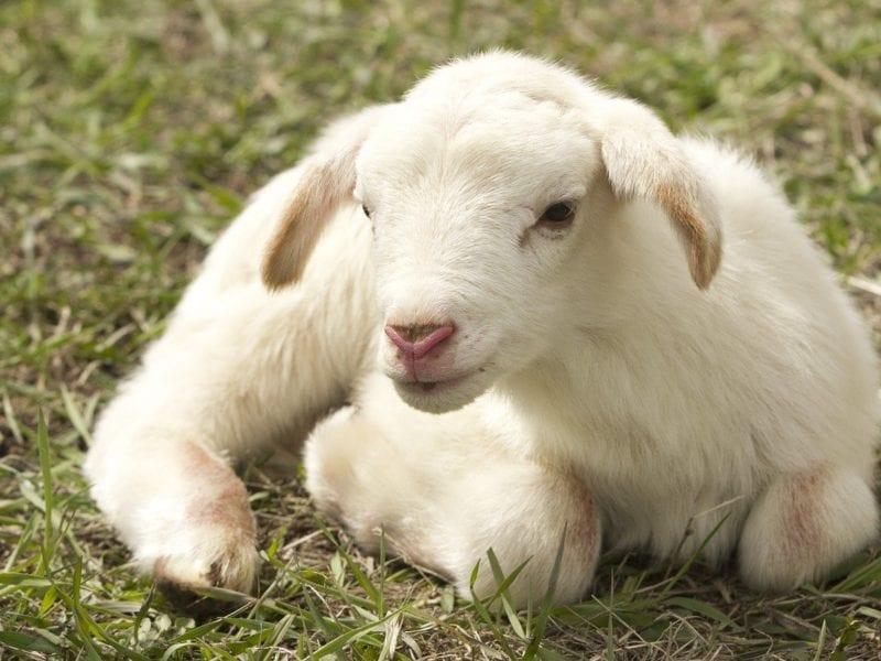 斋月的西班牙羊肉