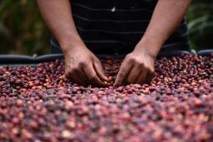 cunas del oro negro líquido/procesos del café