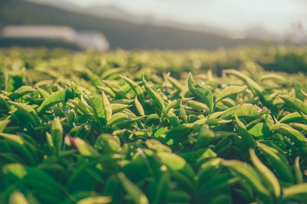 plantación de té blanco