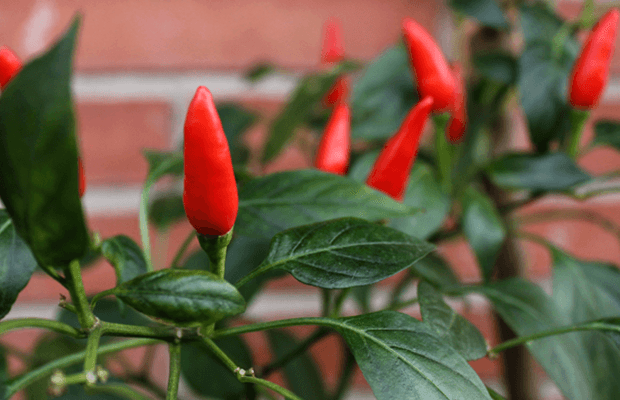 caneya planta