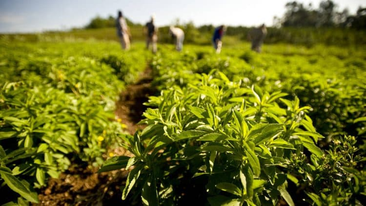 plantación de estevia/Fuente: stevia10.com