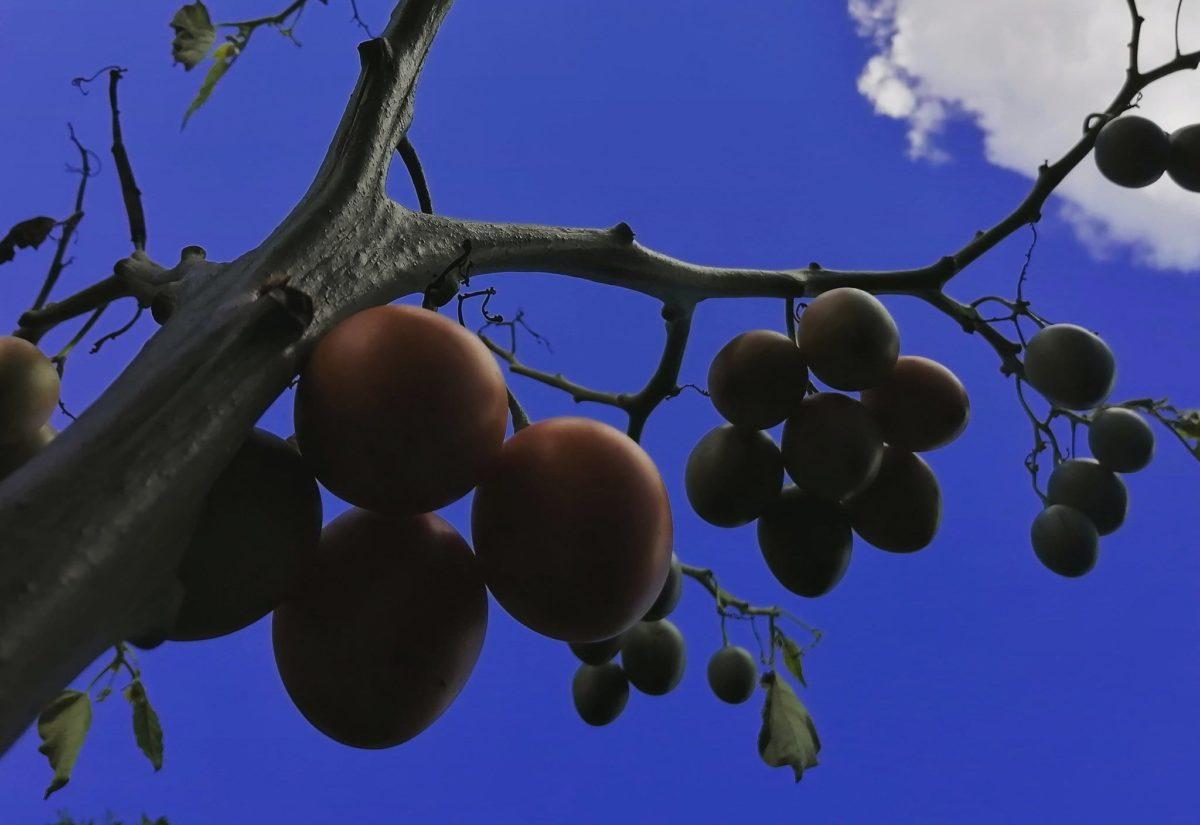 tamarillos en el árbol