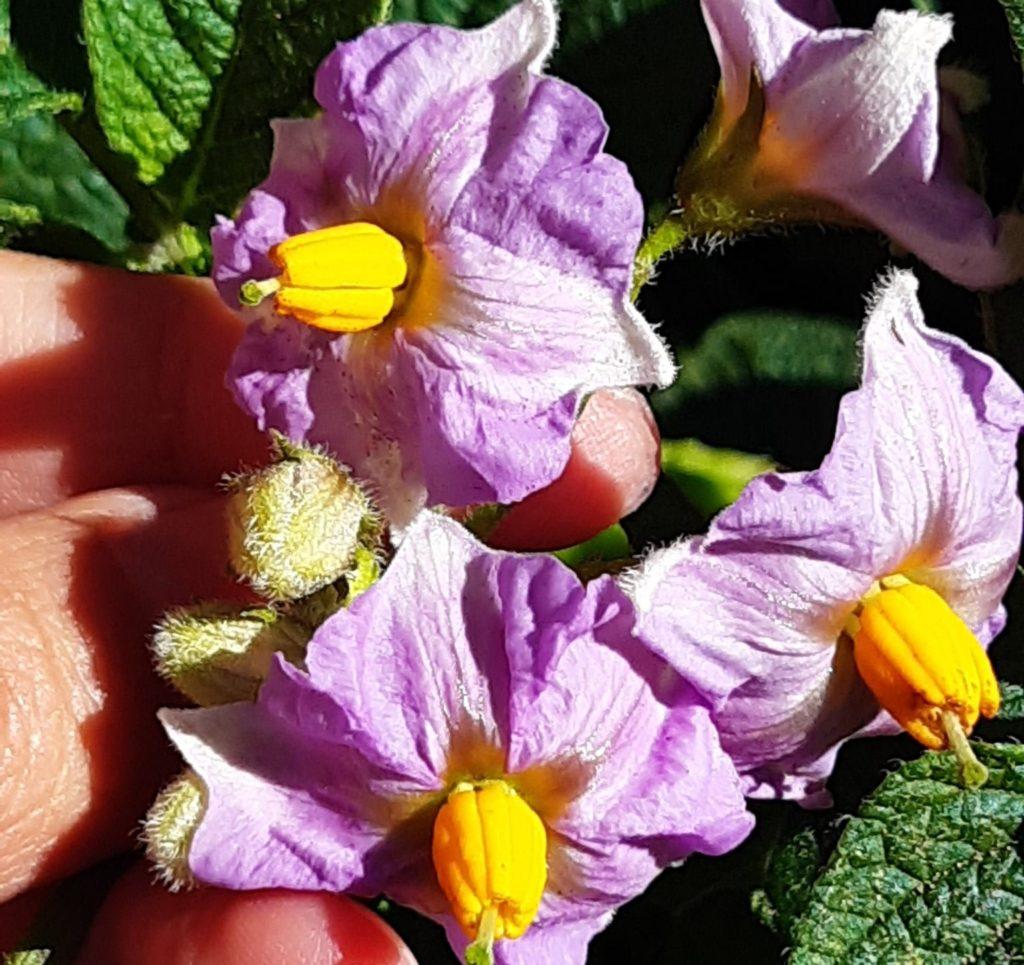 flor del tamarillo