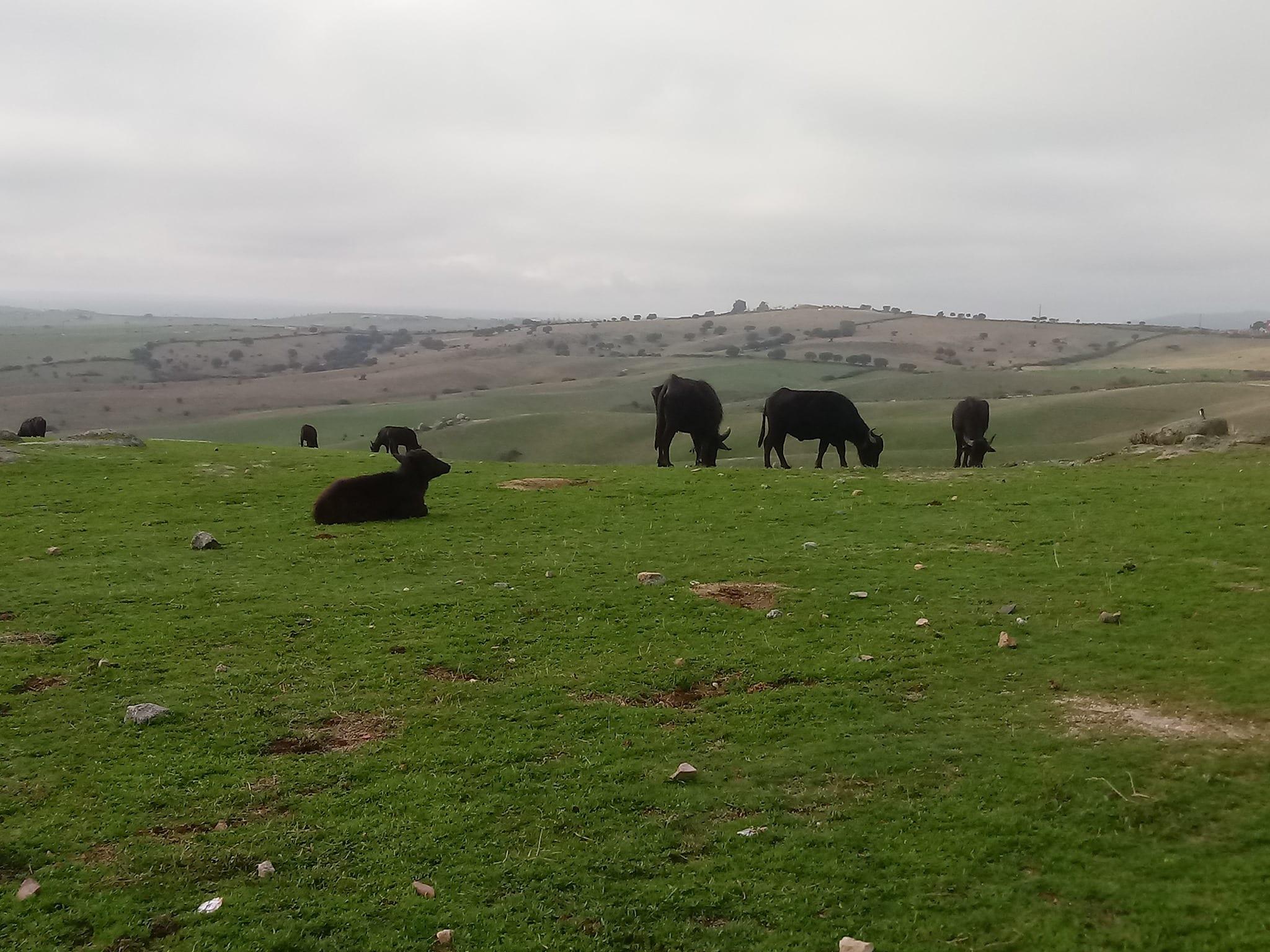 Búfalos en pradera