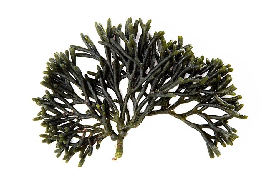 alga códio