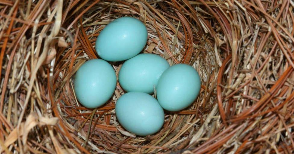 Huevos azules. Foto Pixabay