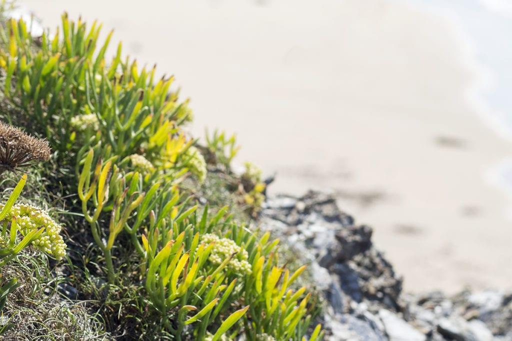 plantas halófilas comestibles