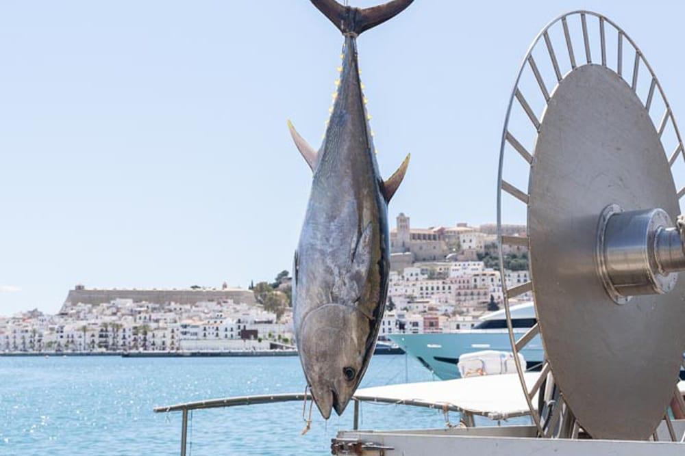 Atum rabilho mediterrâneo