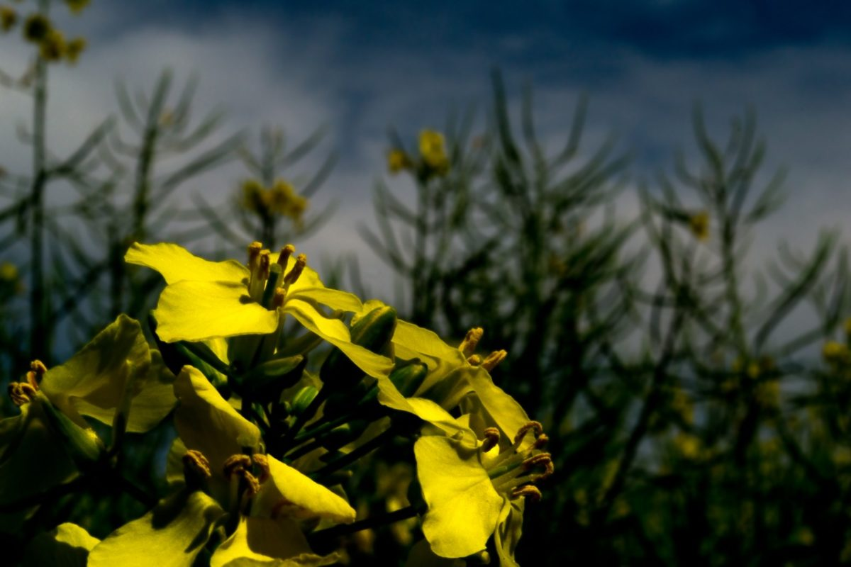 envenenamento por óleo de colza