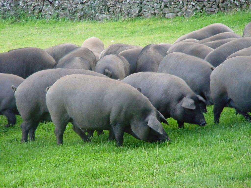 Apadrinar un cerdo de Jabugo