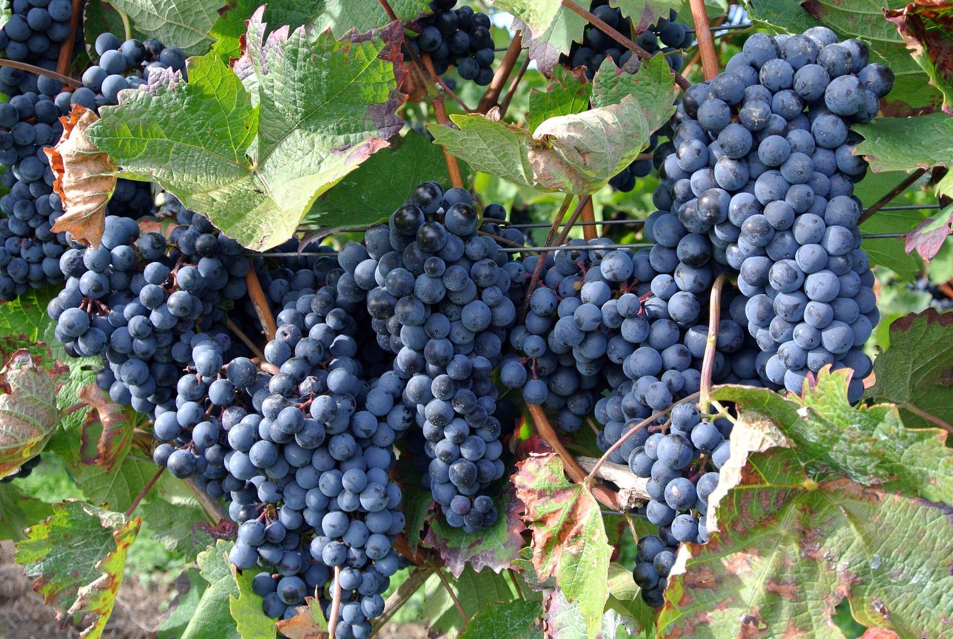 Uva como fruta