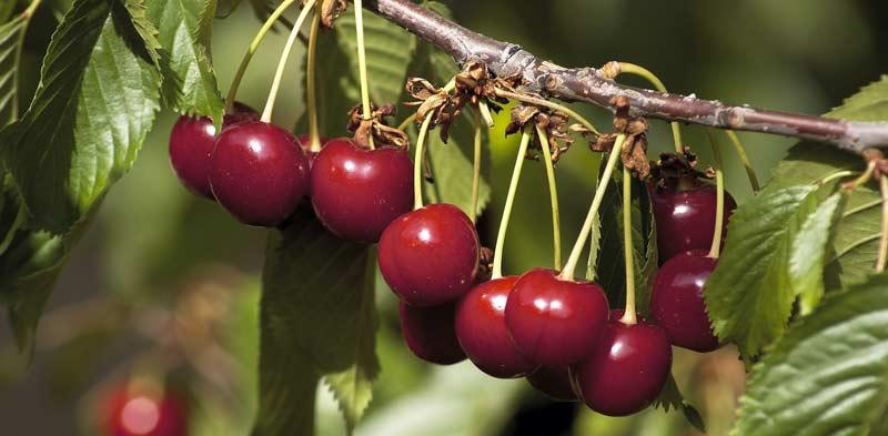 Benefícios inesperados das cerejas
