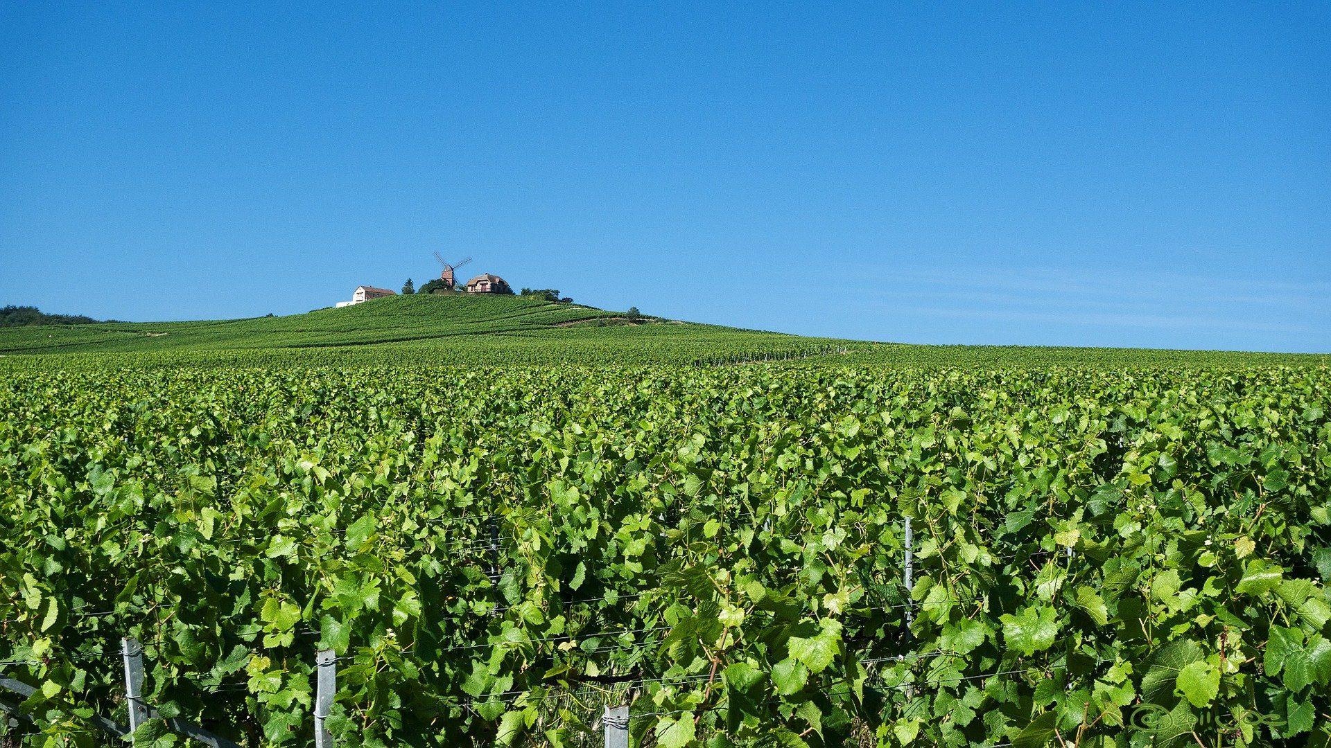 Vineyard in Champagne: Photo Pixabay