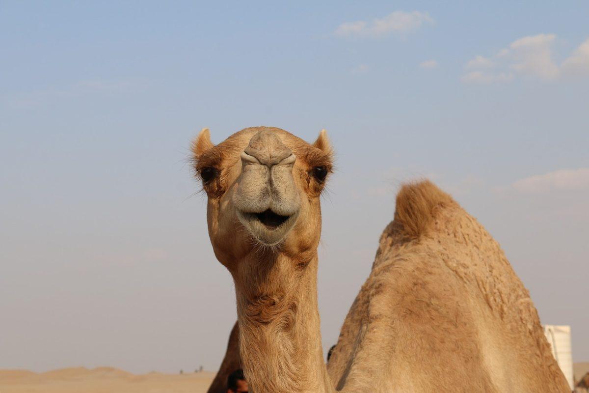 Queijo de camelo