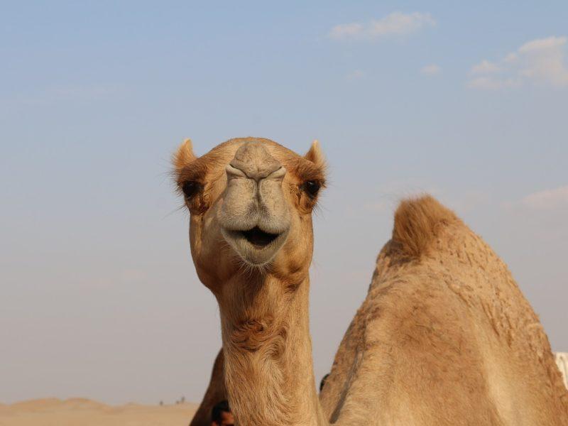 Queso de camella